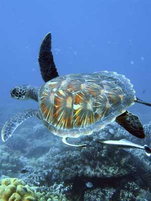 Características de las tortugas marinas » TORTUGAMARINAPEDIA