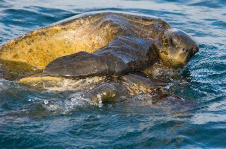 tortuga marina apareandose