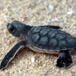 tortuga marina bebe