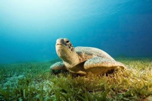 tortuga marina 9