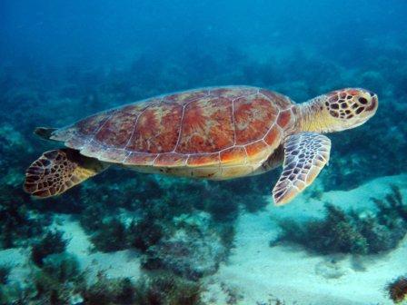 TORTUGAMARINAPEDIA | Tortuga marina. Enciclopedia Experta