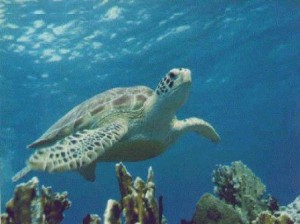 Tortuga marina 7