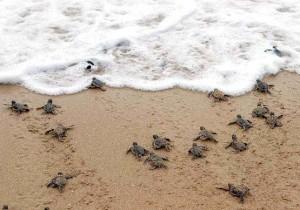 Crias tortugas marinas