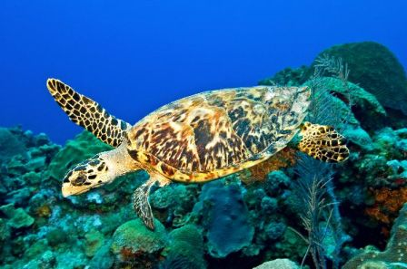 tortuga marina carey