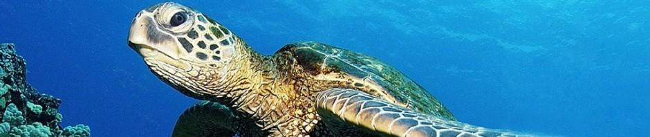 Información sobre las tortugas marinas » TORTUGAMARINAPEDIA