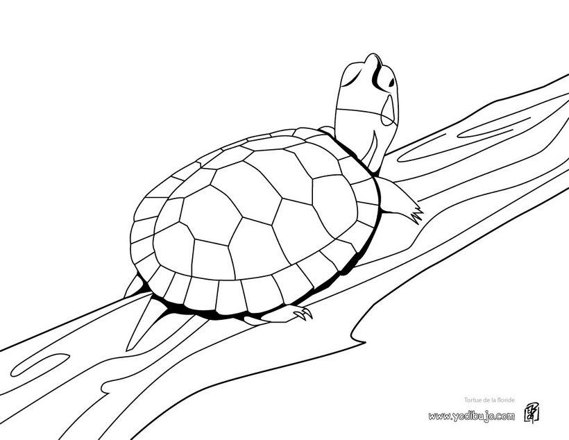 Dibujos De Tortugas Marinas Tortugamarinapedia
