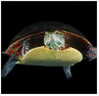 dibujo tortuga marina