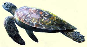 tortuga marina 6